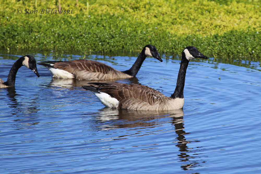 WHILE OBVIOUSLY THE MOST ABUNDANT WATERFOWL SPECIES IN OUR REGION, I LOVED THE GREENS & BLUES OF THE BACKGROUND HERE. CANADA GEESE WERE ONE OF ONLY THREE WATERFOWL SPECIES WE ENCOUNTERED ON THE DAY!