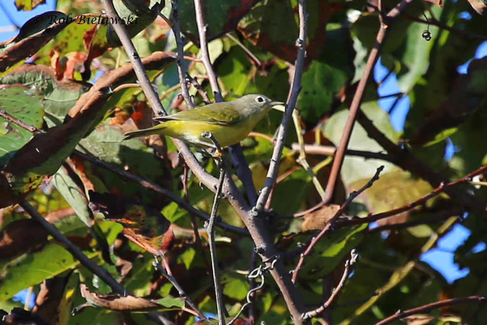 My very first Nashville Warbler in Virginia, and #193 on my county year list!