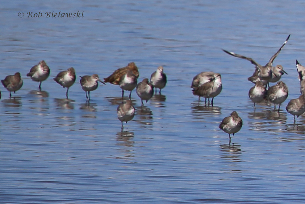 Willets & Marbled Godwit