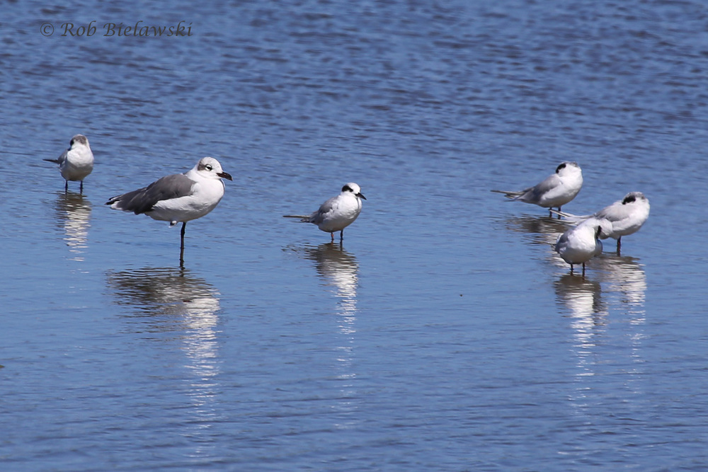 Laughing Gull & Forster's Terns