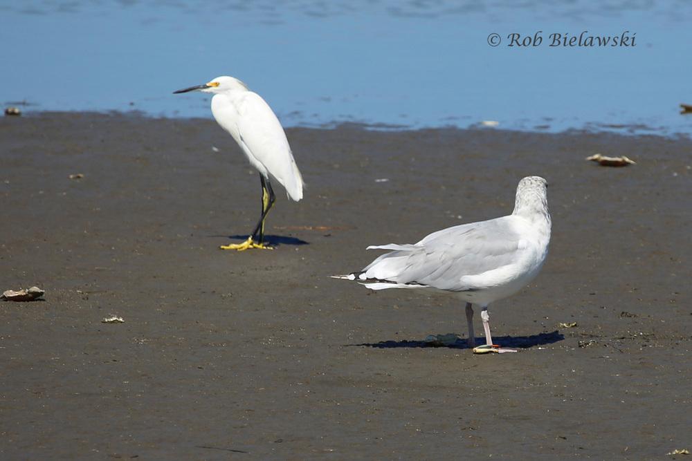 Snowy Egret & Herring Gull
