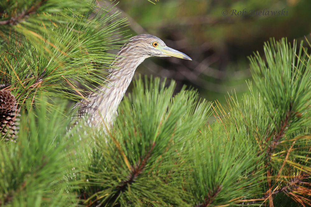 Hiding among a group of Yellow-crowned Night-Herons, I found this juvenile Black-crowned Night-Heron showing its yellow lower bill to help differentiate, at Pleasure House Point!