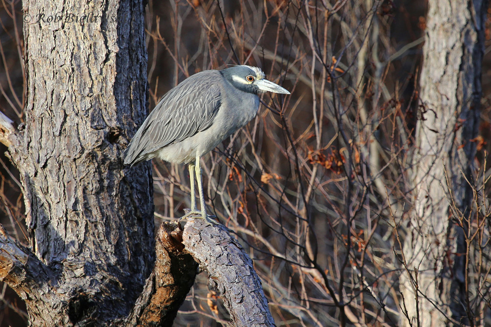 They're quite abundant birds here in coastal Virginia during the summertime, but in a couple of weeks, this and other Yellow-crowned Night-Herons will begin their southward journeys once again!