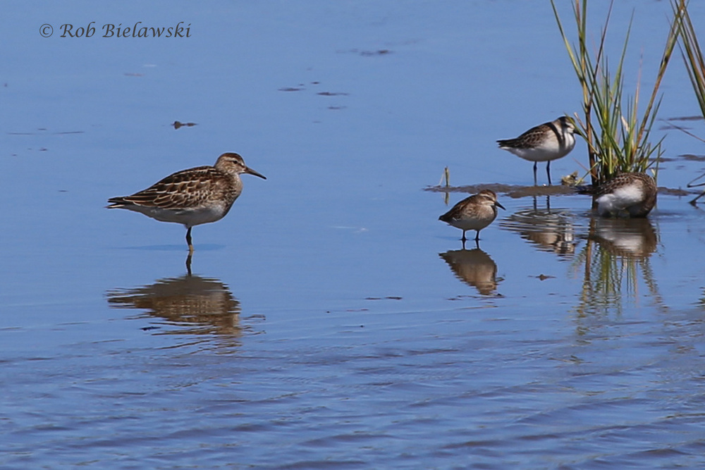 Pectoral Sandpiper (left), Least Sandpiper (middle) & Semipalmated Sandpipers (right) - 19 Sep 2015 - Chincoteague NWR, Accomack County, VA