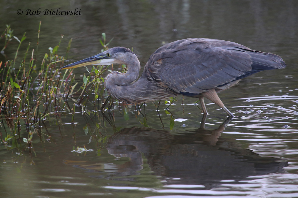 27 Sep 2015 - Back Bay NWR, Virginia Beach, VA