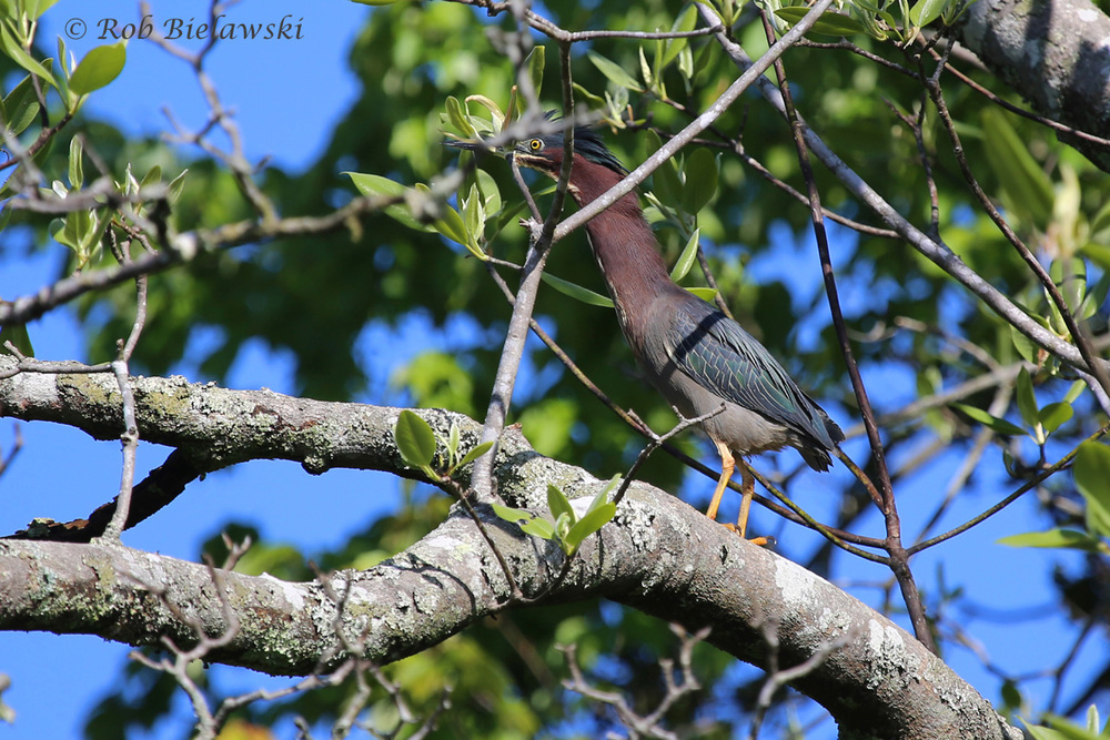2 May 2015 - Great Dismal Swamp NWR, Suffolk, VA