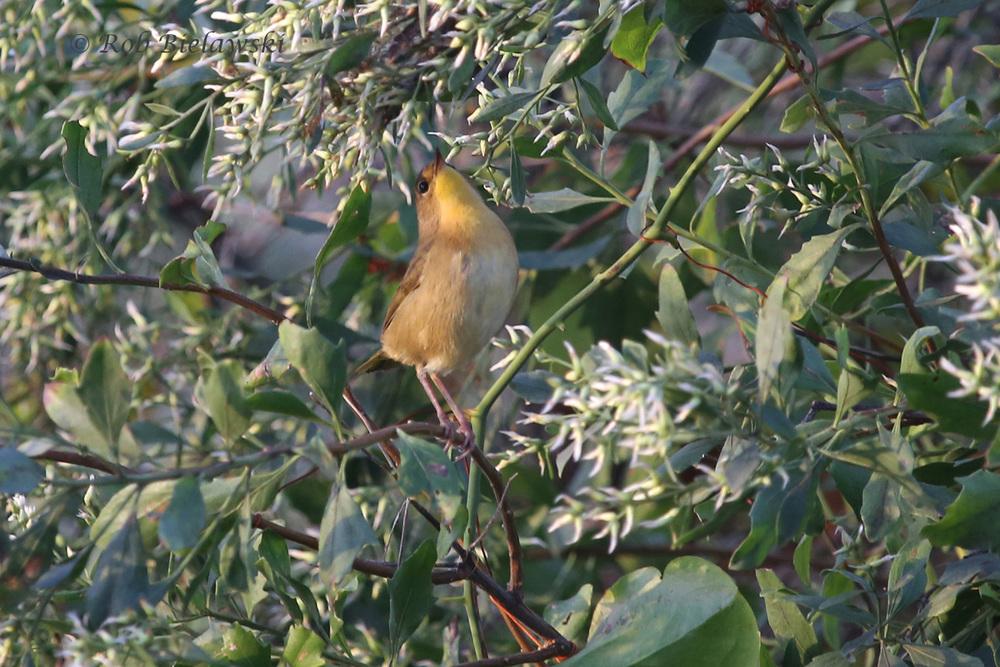 Common Yellowthroat