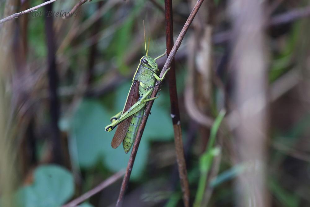 Obscure Birdwing Grasshopper