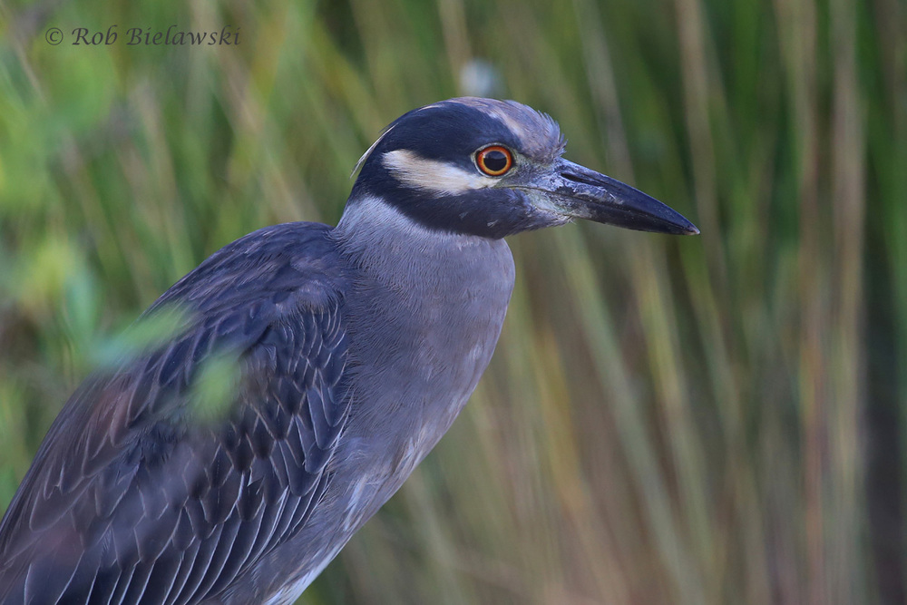 My beloved Yellow-crowned Night-Herons will be around for just a couple more weeks, so I'm cherishing each opportunity to photograph them!