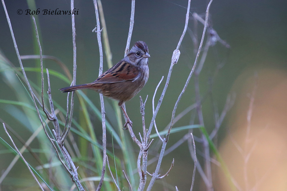 Another species that has now returned to Virginia Beach for the coming winter, the Swamp Sparrow, seen here at Kings Grant Lakes!