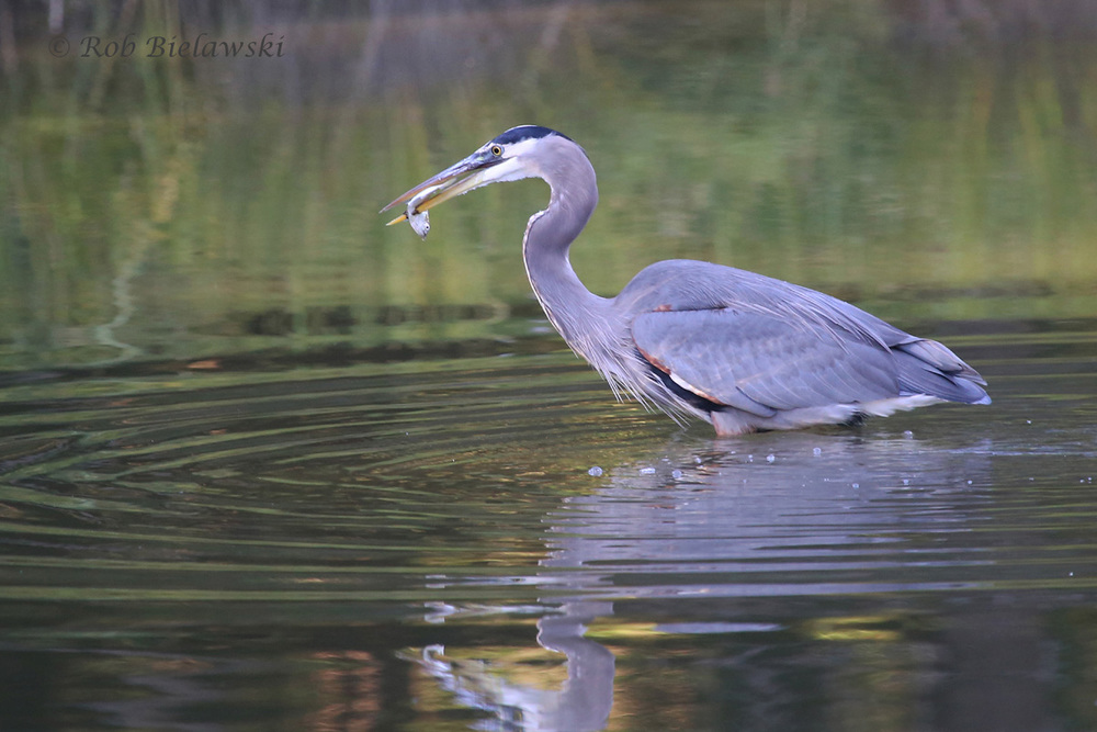 This Great Blue Heron was seen foraging on the tidal creek beneath the outlet of Kings Grant Lake on Sunday evening!