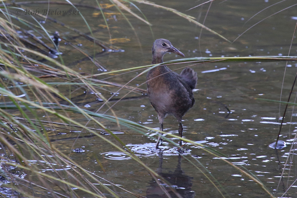 Normally very secretive, Ruth & I spotted this Clapper Rail working the edge of the tidal creek in our neighborhood!