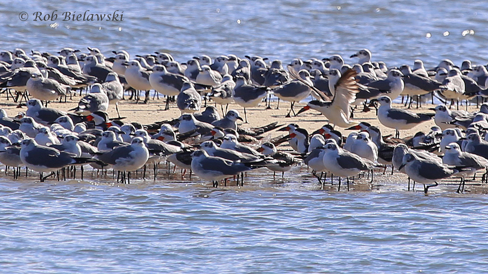 Black Skimmers & Laughing Gulls