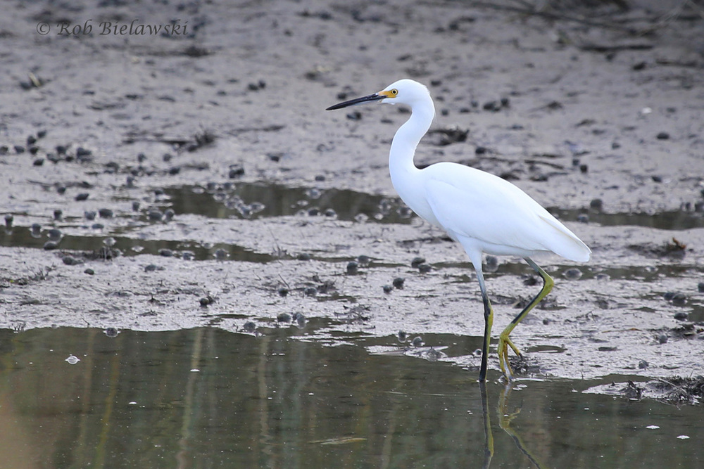 Snowy Egrets are showing up more and more at Pleasure House Point NA!