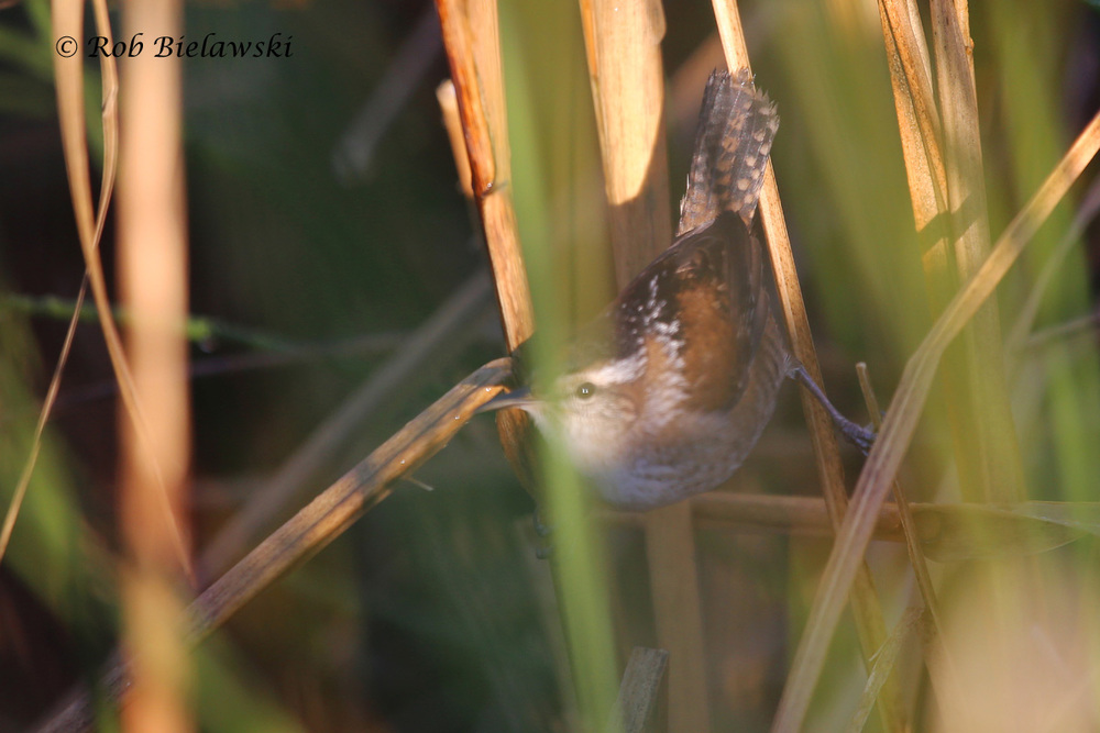 My out-of-focus shot of a Marsh Wren, a very important bird to my county Big Year, as you will read about momentarily.