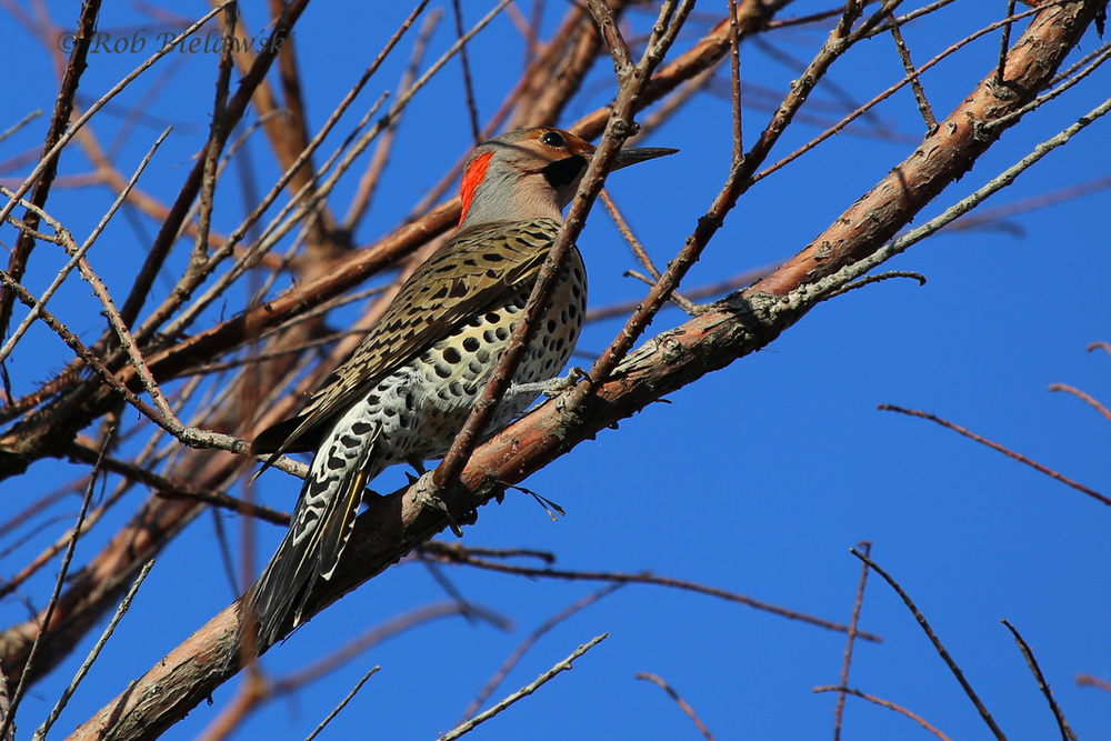 Somehow I snuck up on this Northern Flicker, and got arguably my best photographs of one ever!