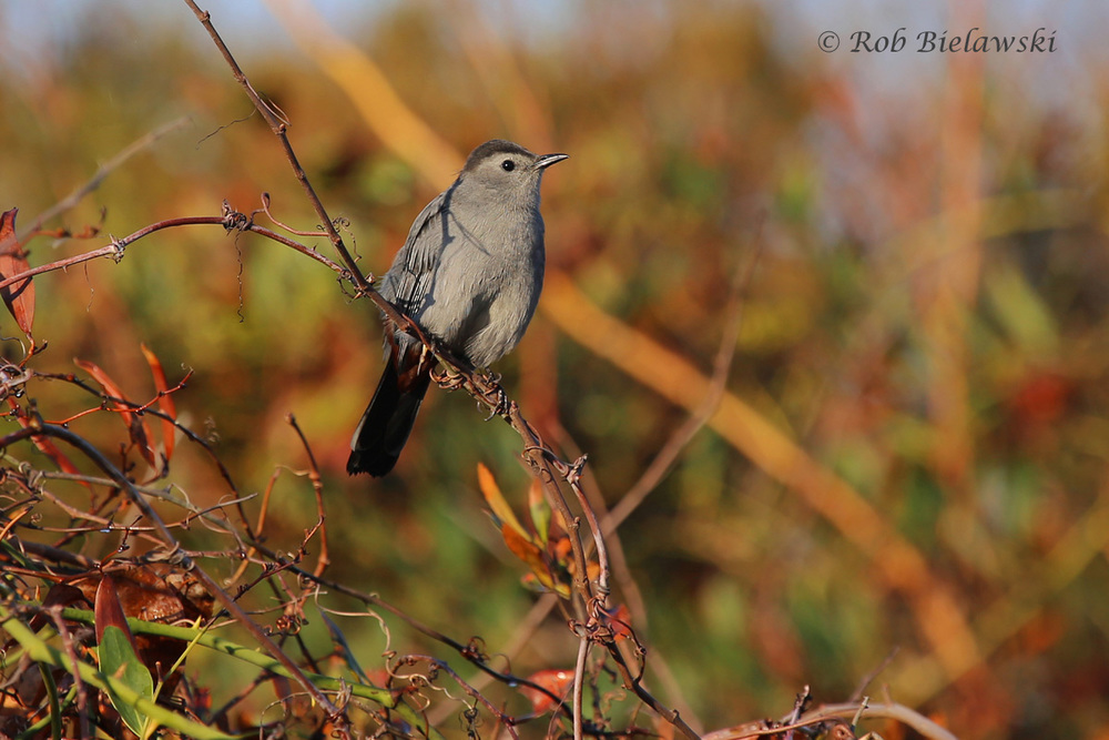 A very vocal Gray Catbird seen along the entry road at Back Bay!