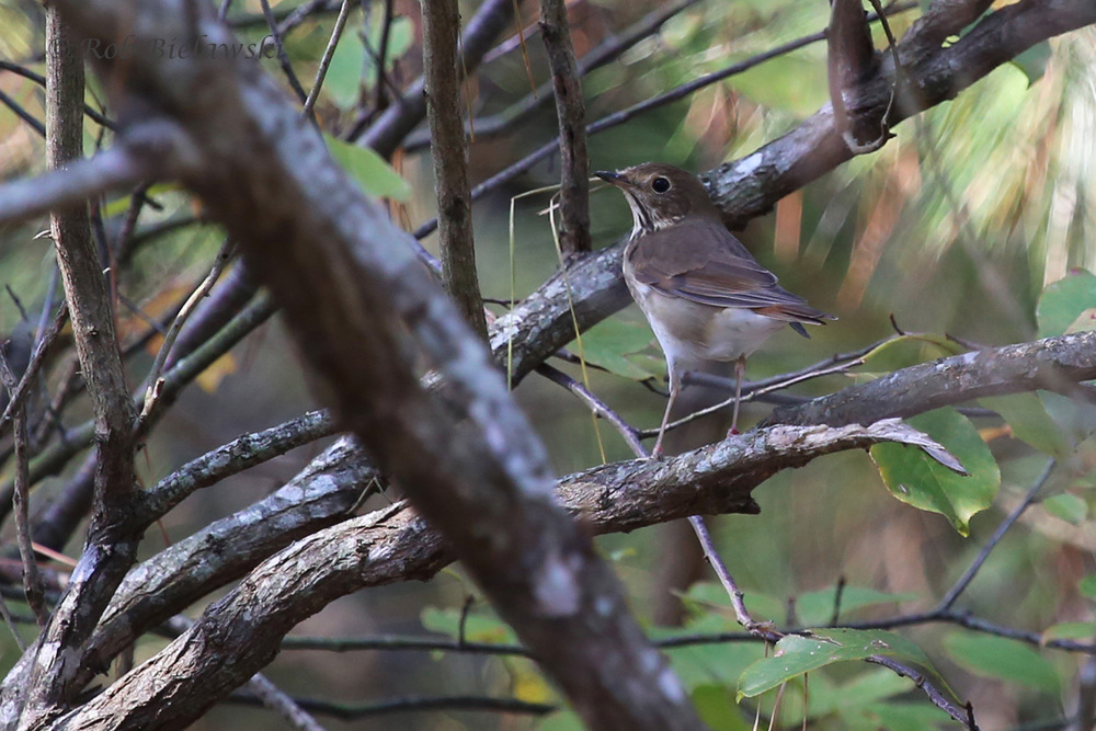 First of season Hermit Thrush observed at Pleasure House Point!
