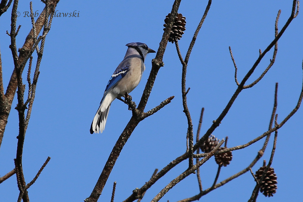A striking adult Blue Jay sits high up in the bare trees at Pleasure House Point!