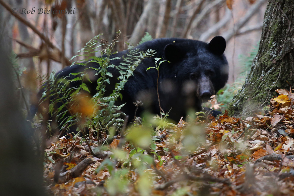 The majestic Black Bear we saw in Shenandoah National Park on Saturday morning!