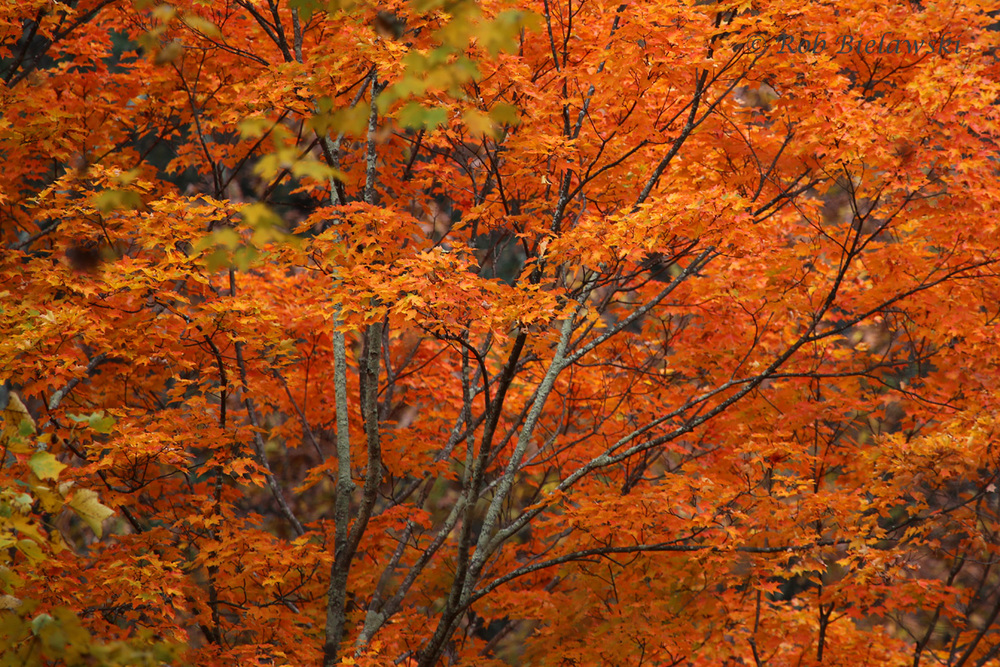 This particular tree stood out to me as the most vibrant orange foliage along the Blue Ridge!