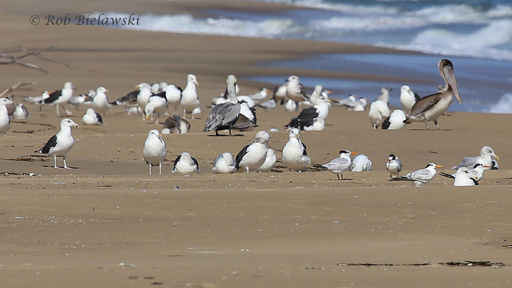 Herring, Great & Lesser Black-backed Gulls, Royal Terns & Brown Pelicans