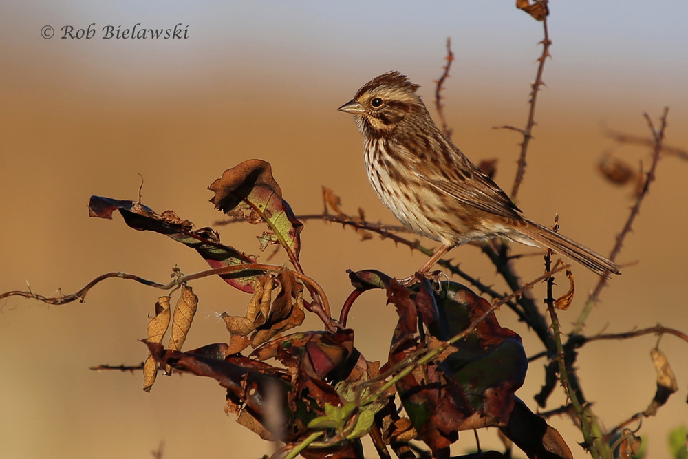 A strikingly colored Song Sparrow seen near the visitor contact station at Back Bay NWR on Saturday morning!