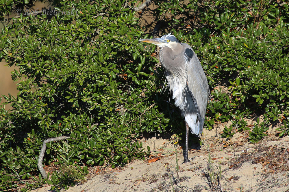 Posting this Halloween Great Blue Heron since my mother always tells me they reminder her of the 'creeper' from the film, Jeepers Creepers. They're a favorite of mine in all seasons!