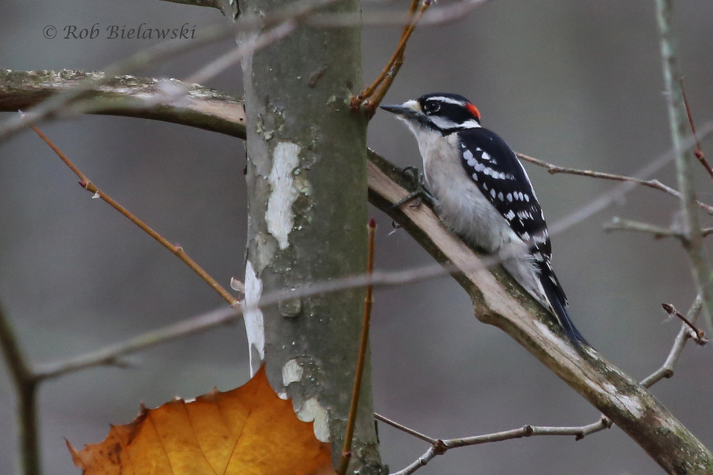 A male Downy Woodpecker seen along the Huntley Meadows boardwalks!
