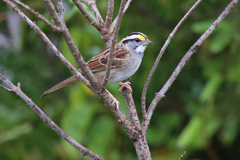 One of my best shots of a White-throated Sparrow, seen at Lake Mercer, Fairfax County on Saturday morning!
