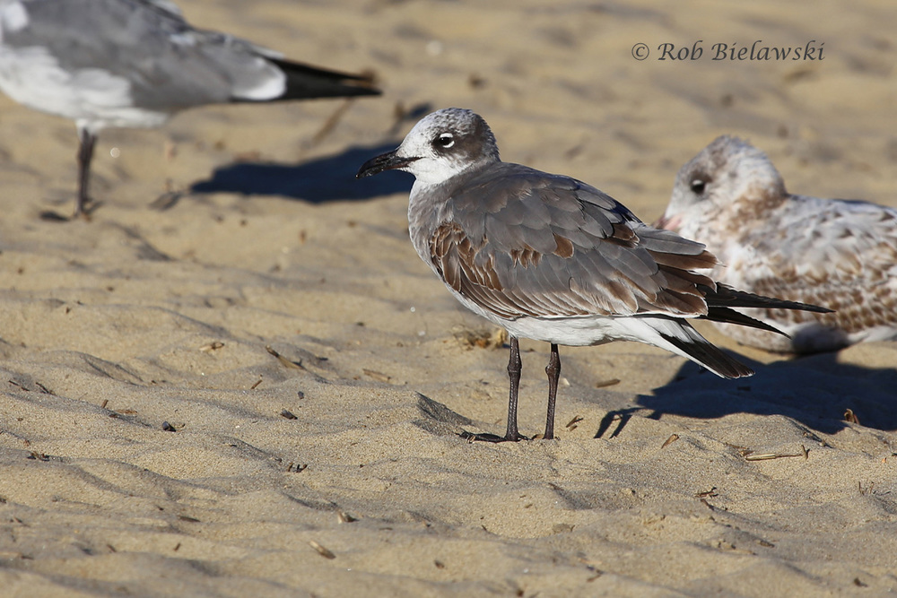 Laughing Gull & Ring-billed Gulls