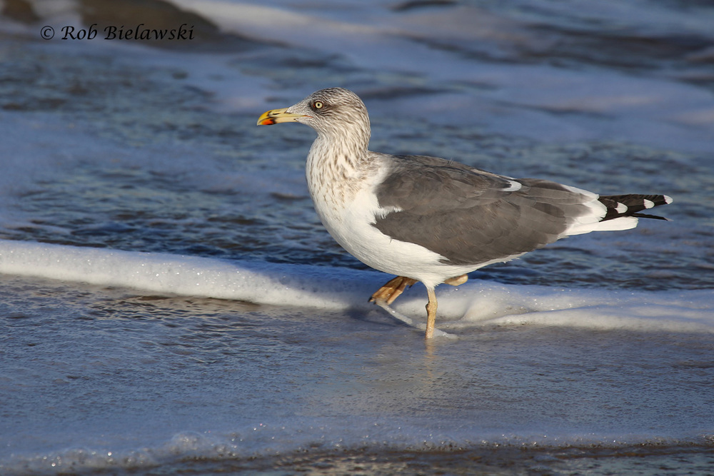 A striking Lesser Black-backed Gull seen at Little Island Park on Saturday afternoon!
