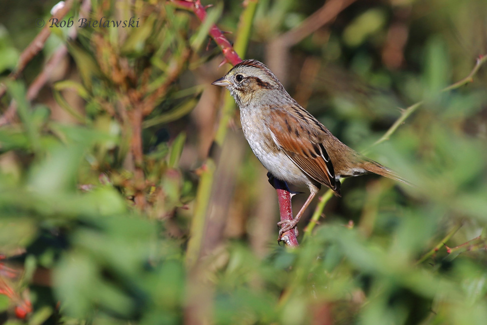 Even more common right now than the Song Sparrow above, this Swamp Sparrow is a good study to see the similar structure but different features!