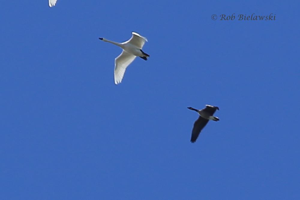 Tundra Swan & Canada Goose