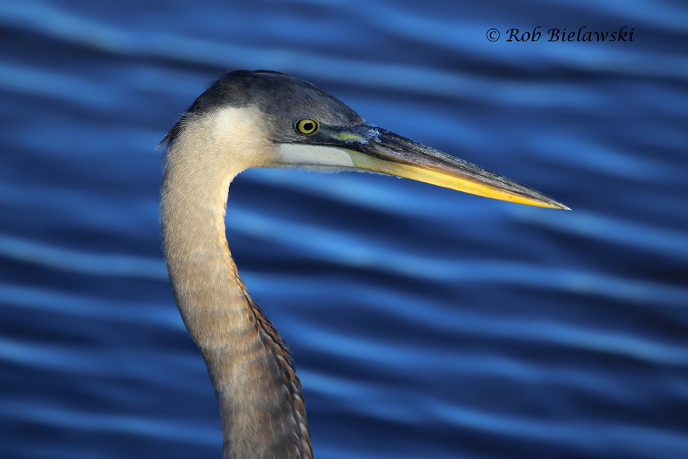 A juvenile Great Blue Heron seen at Back Bay NWR on Saturday morning!