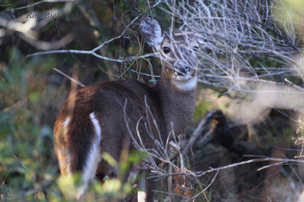 Hiding just off the Kuralt Trail at Back Bay NWR, this White-tailed Deer almost went unnoticed!