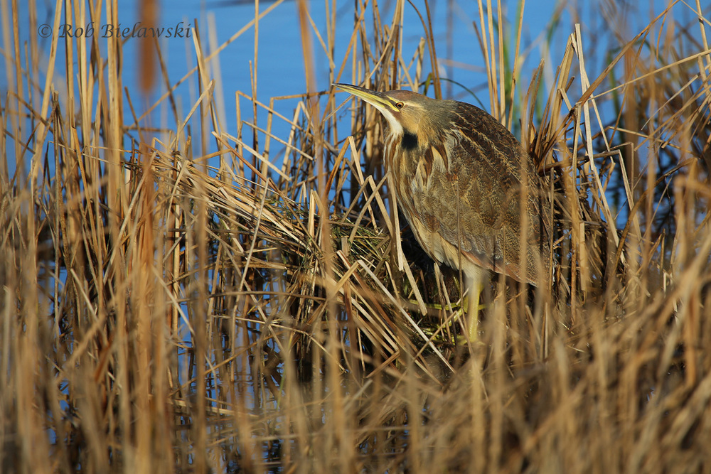 One of my favorite winter residents to the area, the beautifully camouflaged American Bittern!