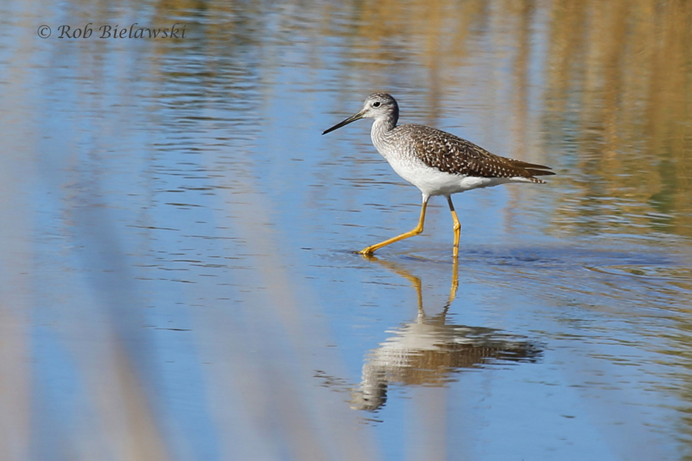 One of our permanent residents, this is a Greater Yellowlegs seen at Pleasure House Point NA on Saturday!