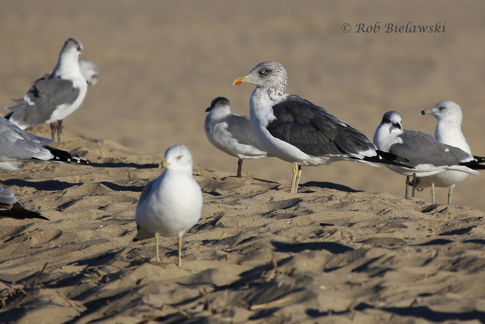 Lesser Black-backed Gull (center) with Ring-billed Gulls & Laughing Gulls - 15 Nov 2015 - Rudee Inlet, Virginia Beach, VA