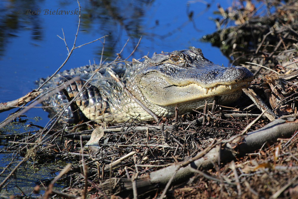 One of the rather large American Alligators that was pulled up on the banks of the freshwater marshes on Bull's Island in South Carolina!