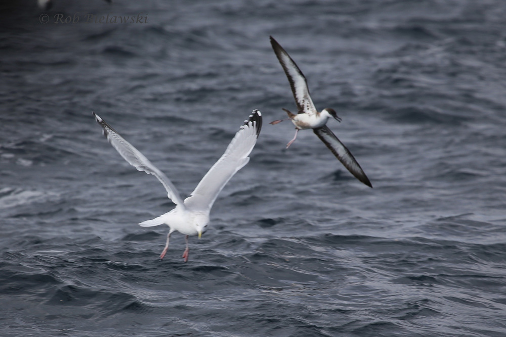 Herring Gull & Great Shearwater