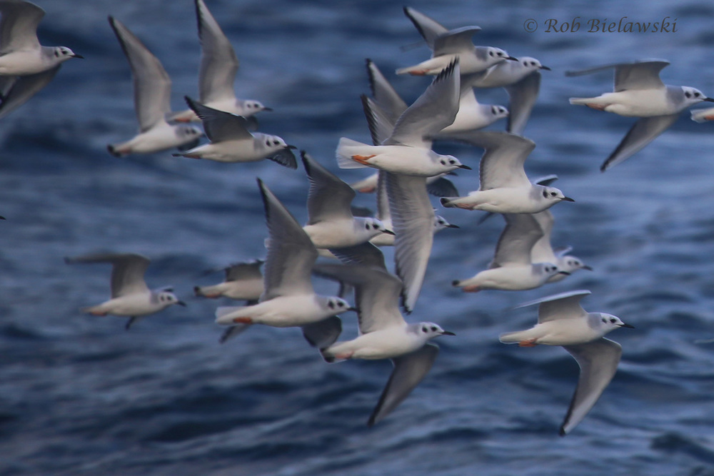 A small portion of one of the massive Bonaparte's Gull flocks!