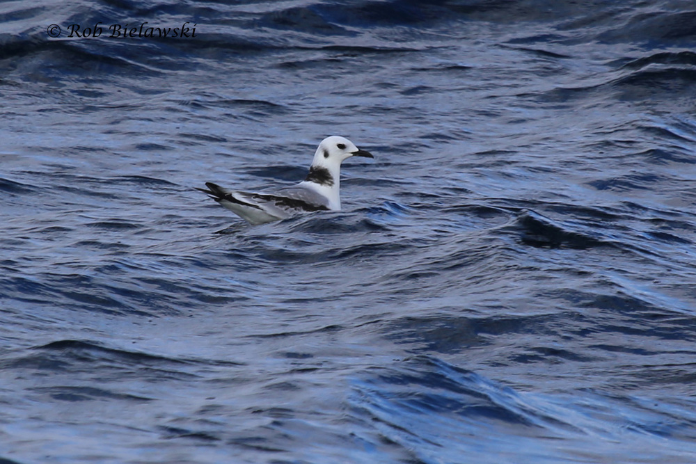 A juvenile Black-legged Kittiwake rests on the water's surface!