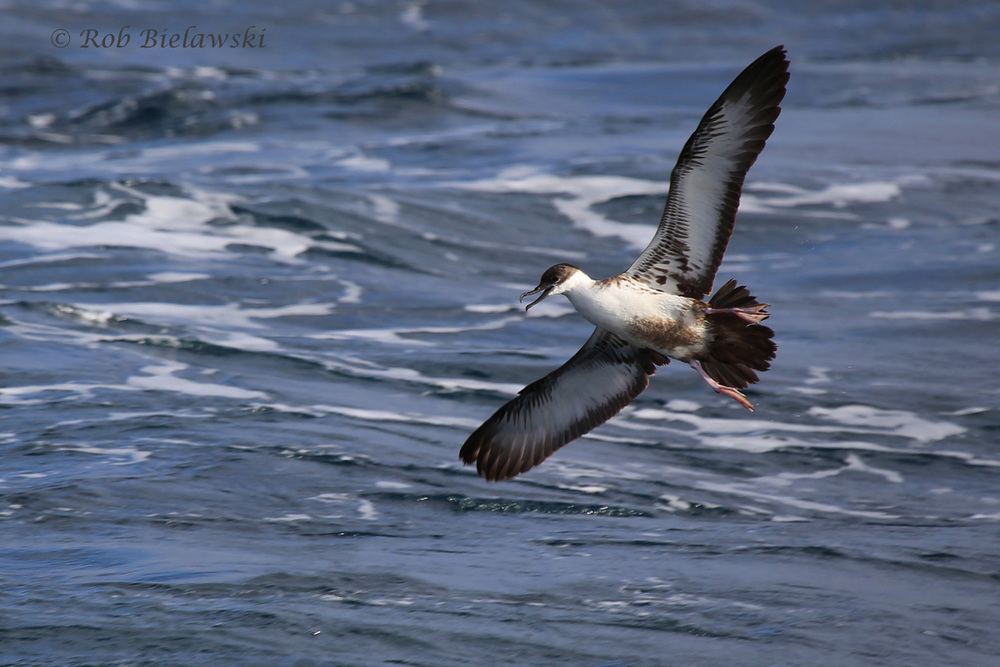 My favorite bird of the day, and my best photograph, a Great Shearwater!