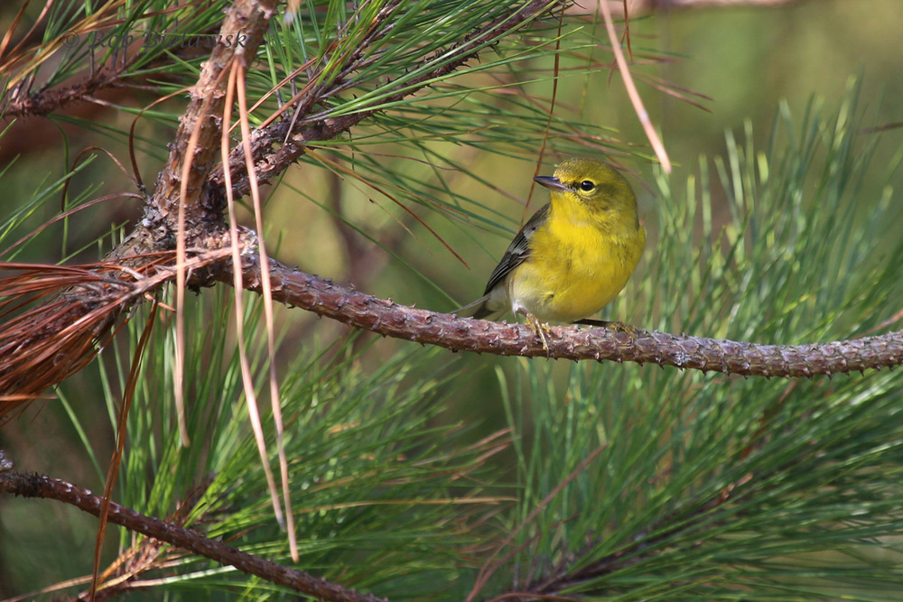 Back on land, I found this Pine Warbler at Whitehurst Tract on Sunday morning!