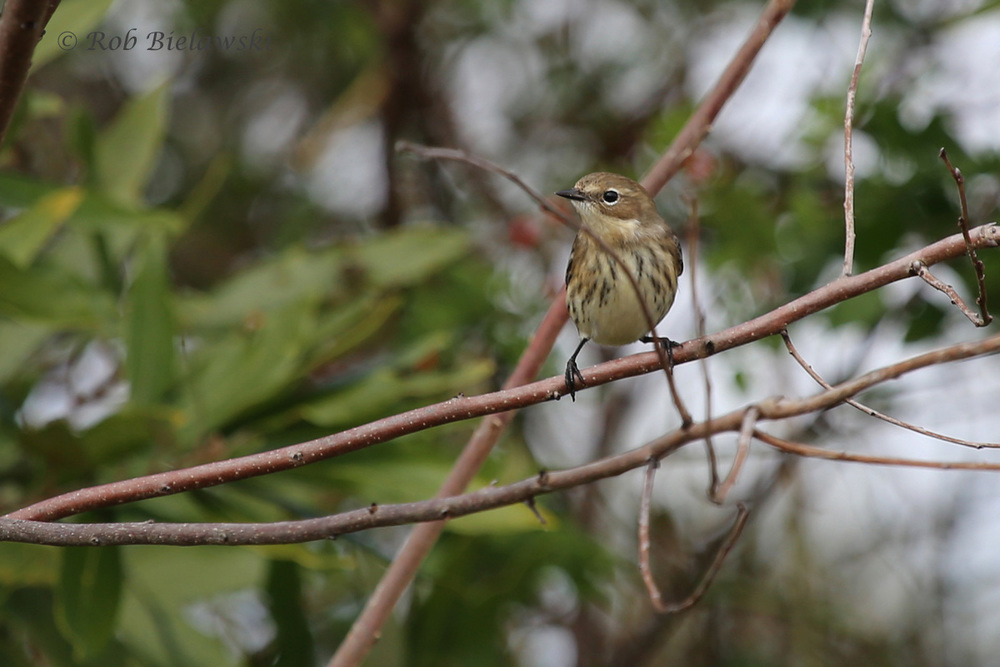 Our most common winter resident, the Yellow-rumped (Myrtle) Warbler!