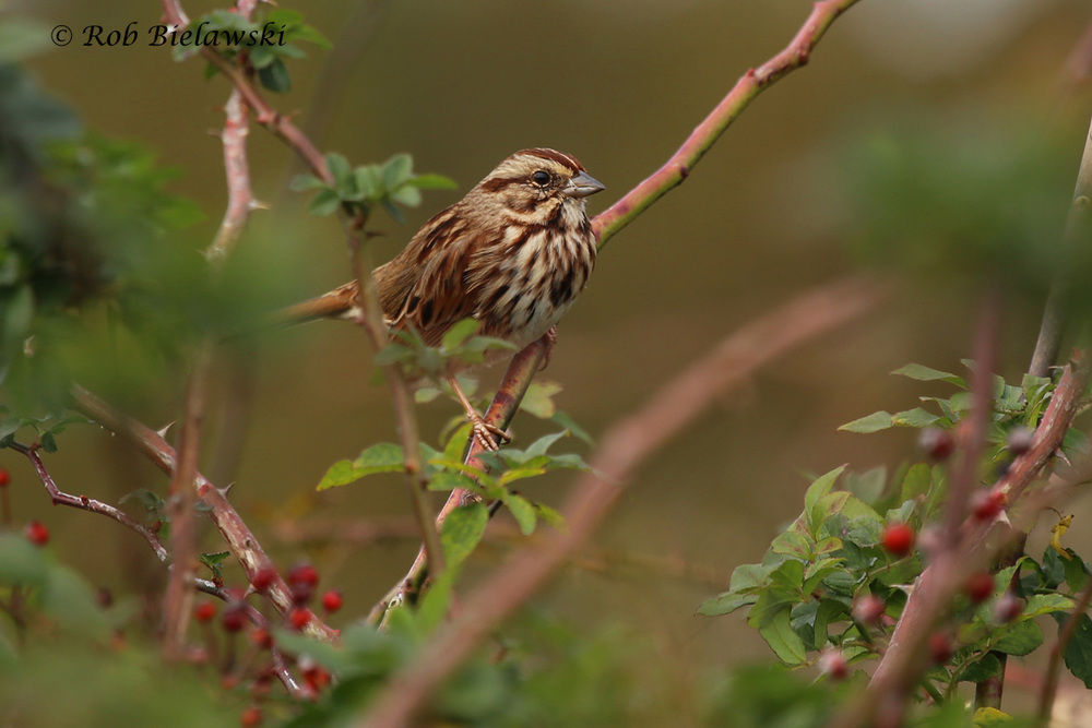 A striking Song Sparrow at Princess Anne WMA on Sunday morning!