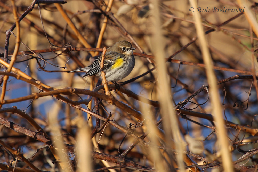 Our most common winter warbler, the Yellow-rumped Warbler positions itself nicely for a photograph!