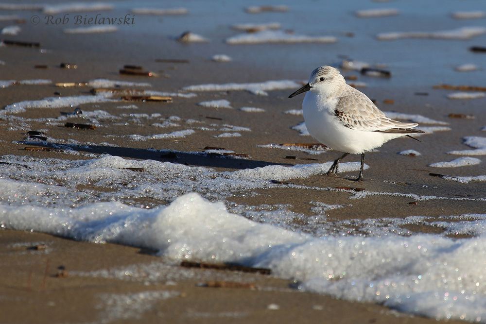 One of many Sanderlings seeking refuge on the beach at Back Bay in the wake of the massive nor'easter!