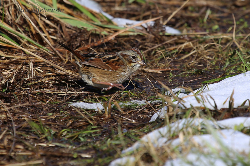 A little bit of snow remained at Whitehurst Tract to help frame in this Swamp Sparrow!
